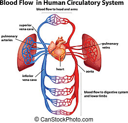 Blood flow in human circulatory system - Illustration of the...