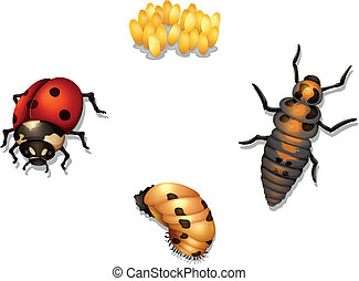 Illustration of the ladybug life cycle