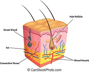 Illustration of The layers of skin - Vector illustration of...