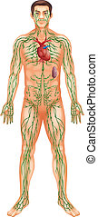 Lymphatic System - Illustration of the Lymphatic System
