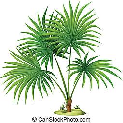 Illustration of the Washingtonia robusta on a white background
