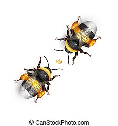 Bumblebee - Illustration of Two Bumblebee Species Bombus...