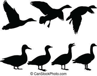 wild duck - vector - illustration of wild duck - vector