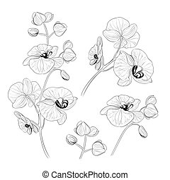 illustration., orchidee, vektor, tropische , phalaenopsis,...