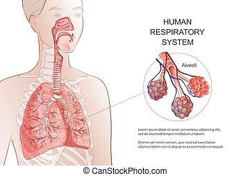 illustration., pulmones, anatomía humana, sistema, ...