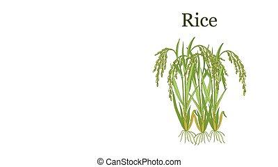 illustration, riz, vecteur, plante