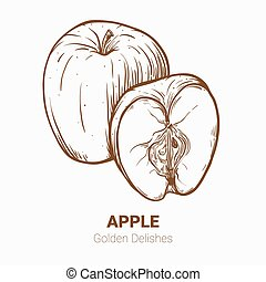 Illustration set of drawing apples Golden delicious elements. Hand draw illustration set for design.