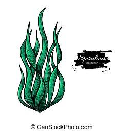 illustration., spirulina, freigestellt, hand, hintergrund., vektor, tang, gezeichnet, weißes, algen, pulver