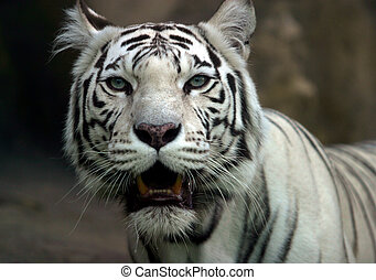 White tiger - Illustration to magazine about animals. White...