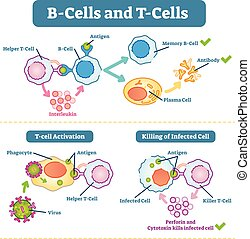 illustration., vecteur, b-cells, diagramme, schématique, t-...