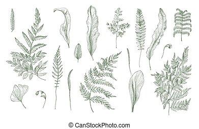 illustration., vecteur, fougère, collection., réaliste, feuilles, fronde, pousses, noir, main, dessiné, blanc, set., tiges