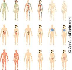 illustration., vector, cuerpo humano, órganos, conjunto, ...