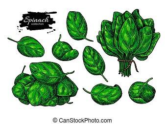 illustration., vector, espinaca, hojas, mano, dibujado, set., vegetal
