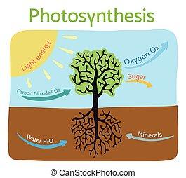 illustration., vector, fotosíntesis, diagram., esquemático, proceso