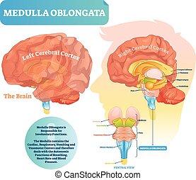 illustration., ventral, 図, ラベルをはられた, ベクトル, oblongata, ビュー。, medulla