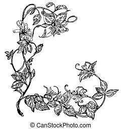 illustration., vettore, botany., elegante, vendemmia, nero, caprifoglio, bianco, flower., flowers.