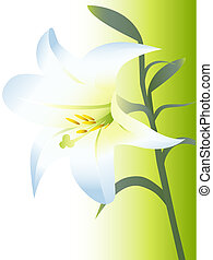 Illustrations of white lily