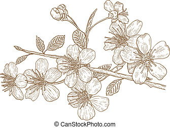 illustrazione, di, ciliegia fiorisce