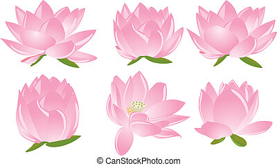 illustrazione, di, lotus(waterlily)