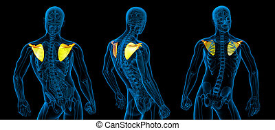 illustrazione medica, interpretazione, umano, scapola, osso, 3d