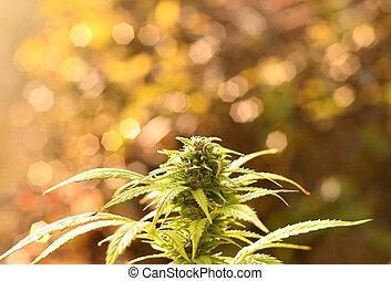 iluminado, luz, manhã, cedo, cannabis, morno, broto