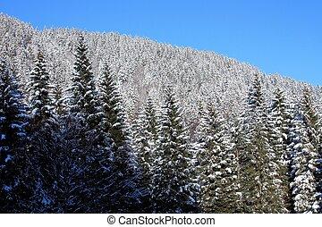 iluminado por el sol, picea, bosque, cubierto, con, nieve