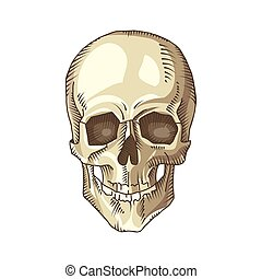 ilustração, cranio, anatômico