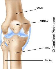 ilustração, de, a, joelho humano, juntar