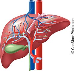 ilustração, human, fígado