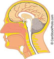 ilustrace, anatomie, mozek, vektor, lidský, domácí