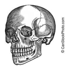ilustrace, o, lidská bytost lebka, osamocený, oproti neposkvrněný, grafické pozadí