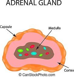 ilustración, anatómico, vector, gland., suprarrenal, ...