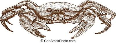ilustración, cangrejo, aguafuerte