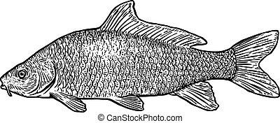 ilustración, carpa, pez, realista, grabado, vector, dibujo, arte de línea