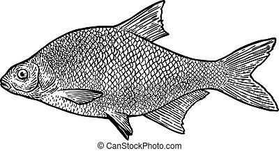 ilustración, carpa, pez, realista, grabado, vector, dibujo, brema, arte de línea