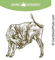 ilustración, cow., crianza, blanco, ganado, animal, ...