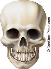 ilustración, cráneo humano