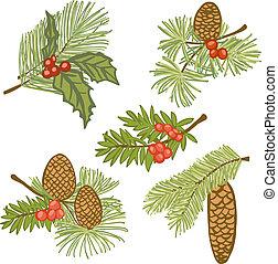 ilustración, de, árbol hoja perenne, ramas, con, conos, y,...