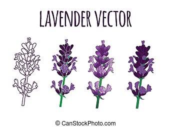 ilustración, dibujado, lavanda, lío, conjunto, mano, vector...