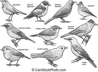 ilustración, dibujo, colección, grabado, pájaro cantor, vector, tinta, arte de línea