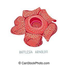 ilustración, dibujo, grows, rafflesia, plano, -, flor, ...