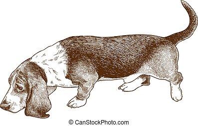 ilustración, grabado, perrobasset