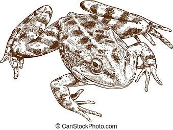 ilustración, grabado, rana