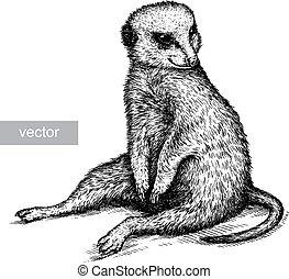 ilustración, grabar, meerkat