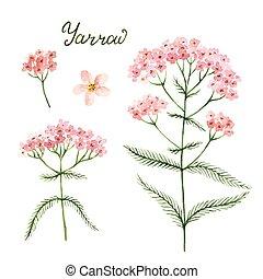 ilustración, mano, acuarela, vector, dibujado, yarrow.,...