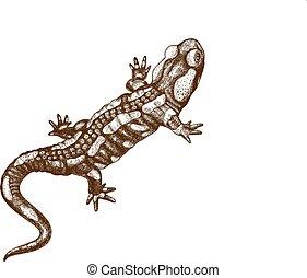 ilustración, salamandra