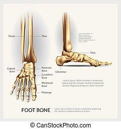 ilustracja, anatomia, wektor, ludzka stopa, kość