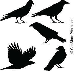 imágenes, cuervos, vector, conjunto