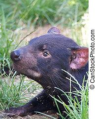 I'm just so cute and cuddly - very cute tasmanian devil in ...