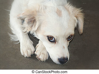I'm Sorry - White Terrier mix looking sad.